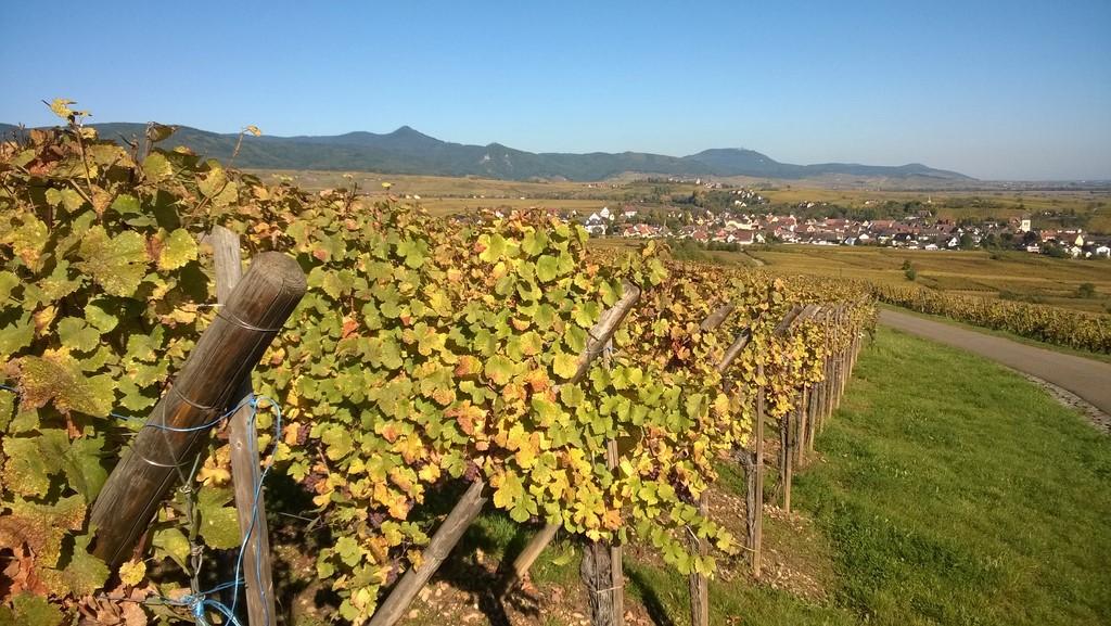 vignoble alsacien en calèche